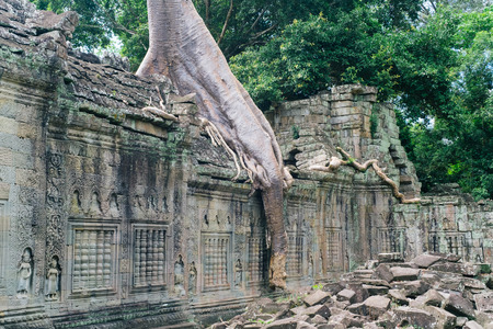 The root of the Tree on the wall looks like a trunk of Elephant at Preah Khan temple, Siem Reap, Cambodia.