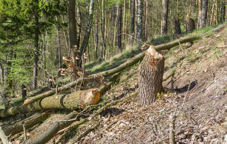 incisor: Trees gnawed beavers Stock Photo