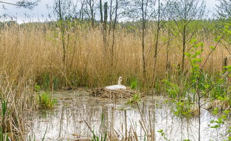 nesting: White swan nesting