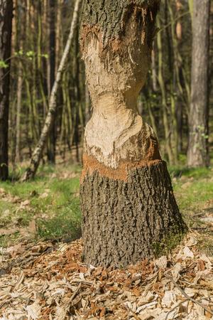 riverside trees: Tree gnawed beavers