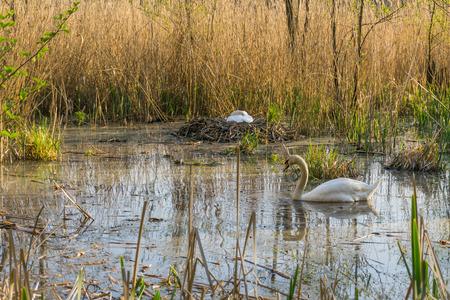 White swans nesting Stock Photo