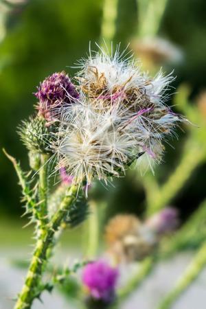 dissemination: Thistle flower Carduus Crispus Stock Photo