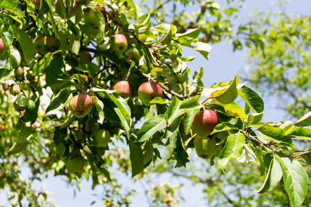 unprocessed: Red and green apples on a branch of an apple tree. Organic farmingagriculture; fresh, healthy, natural, unprocessed produce.