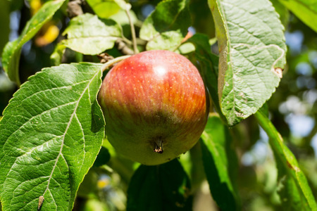 unprocessed: Red apple on a branch of an apple tree on a sunny day. Organic farmingagriculture; fresh, healthy, natural, unprocessed produce. Stock Photo