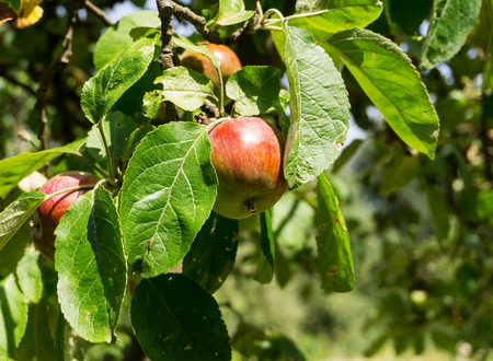 unprocessed: Red apples on a branch of apple tree on a sunny day. Organic farmingagriculture; fresh, healthy, natural, unprocessed produce. Stock Photo