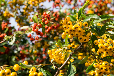 bush fire: Firethorn Pyracantha coccinea plant - yellow berries