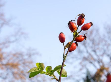 Fruits of Rosa canina (dog-rose) in autumn