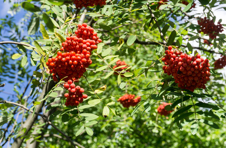 aucuparia: Rowanberry, Sorbus aucuparia Mountain ash tree with ripe berries. Horizontal image