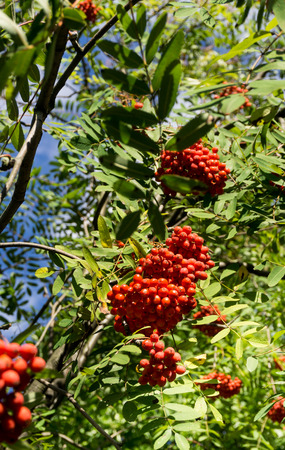 sorbus aucuparia: Rowanberry, Sorbus aucuparia Mountain ash tree with ripe berries. Vertical image