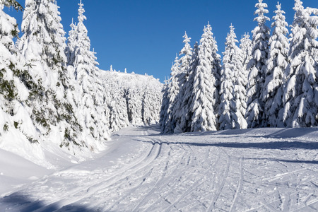 groomed: Winter road in mountains. Trees covered with fresh snow in sunny day. Groomed ski trails for cross-country in Giant, Giant Mountains, Poland.