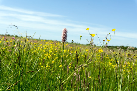 amphibia: Colorful meadow in spring and blue sky. Green grass, Persicaria amphibia and buttercup. Sunny day, nobody.