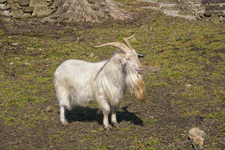 southeastern: The Carpathian goat breed also known by the name, Karpacka or Carpatina is found in the southeastern part of Europe Stock Photo
