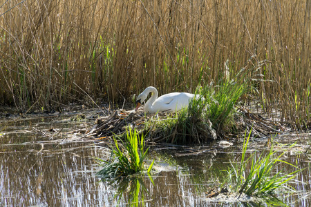 olor: White swan (cygnus olor) nesting in reeds on a lake