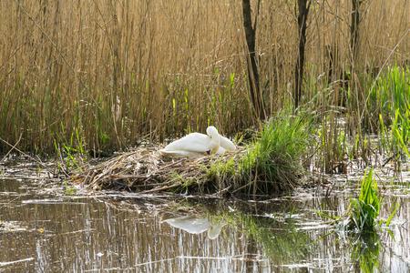 nesting: White swan (cygnus olor) nesting in reeds on a lake
