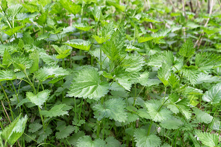urtica dioica: Green leaves of stinging nettles  (Urtica dioica) in nature. Bed of nettles.