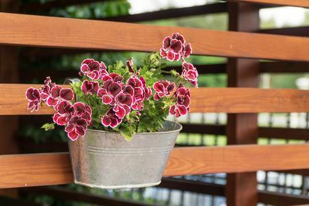 petunias: Purple petunias in tin pot hanging on wooden wall of arbor