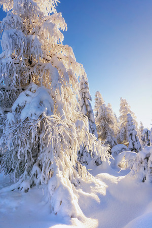 Illuminated by the sun snow-covered larches and spruce trees in the background of blue sky. Sunny winter day. Winter mountain landscape. Stock Photo