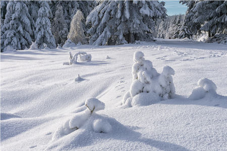 animal tracks: Small spruces covered with fresh snow in sunny day and animal tracks on the snow