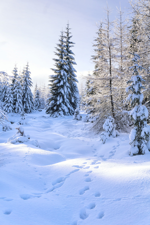 huellas de animales: Winter landscape. Trees in mountains covered with hoarfrost in sunny day and animal tracks on the snow. Karkonosze,  Giant Mountains, Poland.