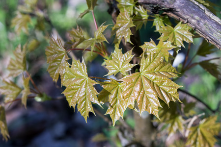 Very young fresh maple leaves (Acer platanoides) in spring forest. Leaves are highlighted by the sun.  Natural background. Selective focus.