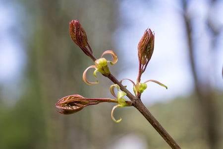 Maple leaves coming out of the buds. Very young fresh maple leaves in spring forest closeup (Acer platanoides). Selective focus, blurred background. Stock Photo