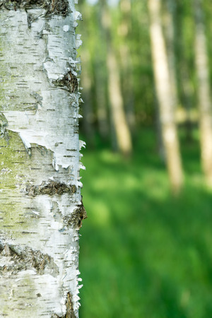 Natural background. Green spring blurred background with birch bark in foreground.