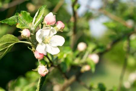Apple tree branch flowers on blurred background. Closeup, selective focus. Фото со стока