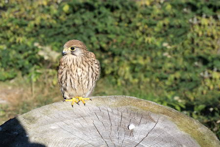 Portrait of the kestrel also known as common kestrel (Falco tinnunculus) sitting on tree trunk.