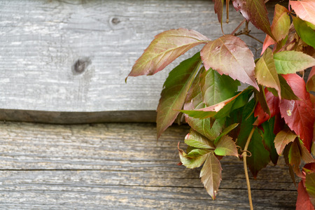 Old wooden plank wall and virgin creeper in autumn. Natural autumn background, Copy space.