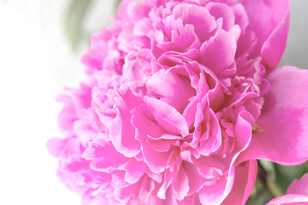 Closeup of  pink Peony flower on light background. Delicate floral background.