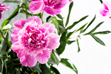 Pink peony flower with copy space. Floral background. Фото со стока