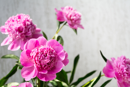 Floral background with copyspace. Pink peony flowers, selective focus. Фото со стока