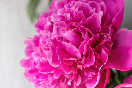 Closeup of  pink Peony flower on light background. Floral background. Фото со стока