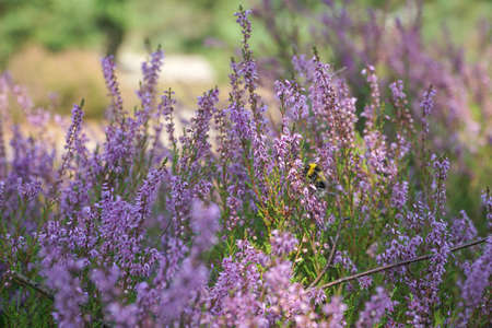 Heather flowers in summer forest with a bee collecting pollen. Reklamní fotografie