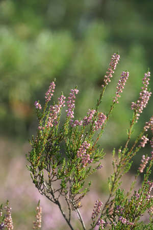 Heather flowers in summer forest with blurred
