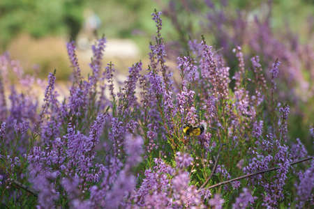 Heather flowers in summer forest with a bee collecting pollen