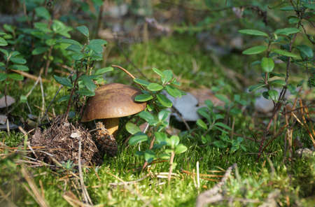 Wild mushroom (bay bolete) growing in natural forest in autumn among the green moss and the lingonberry in sunny day. Closeup. Selective focus.