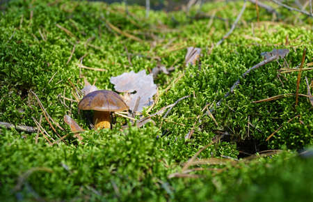 Wild mushroom (bay bolete) growing in natural forest in autumn among the green moss in sunny day. Closeup. Selective focus.
