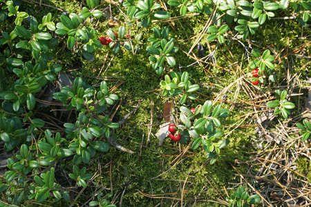 Forest floor with lingonberry bushes, red fruits of cowberry (vaccinium vitis-idaea) and moss. Reklamní fotografie