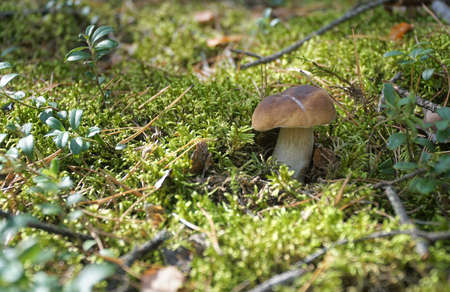 Wild mushroom (Boletus) growing in natural forest green moss in autumn. Closeup. Selective focus.