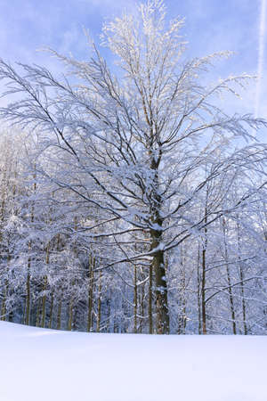 Winter landscape. Tree with branches covered with snow at the edge of the forest against the blue sky. In the background a snowy forest. Winter in mountains. Reklamní fotografie