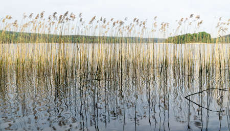 Natural background with coastal reeds with reflection and shining lake water.