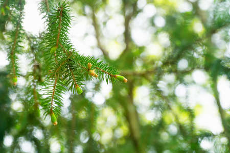 Young fluffy green spruce shoots, fir branches in spring. Selective focus. Natural background.