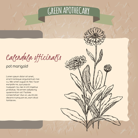 green tea leaf: Calendula officinalis aka pot marigold sketch. Green apothecary series. Great for traditional medicine, or gardening.