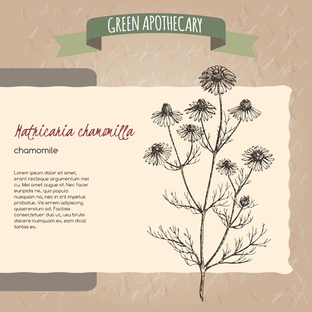chamomilla: Matricaria chamomilla aka chamomile sketch. Green apothecary series. Great for traditional medicine, gardening or cooking design.