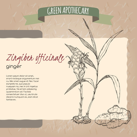 Ginger flower, plant and root sketch placed on original handmade paper background texture. Green apothecary series. Great for traditional or Ayurvedic medicine design. Illustration