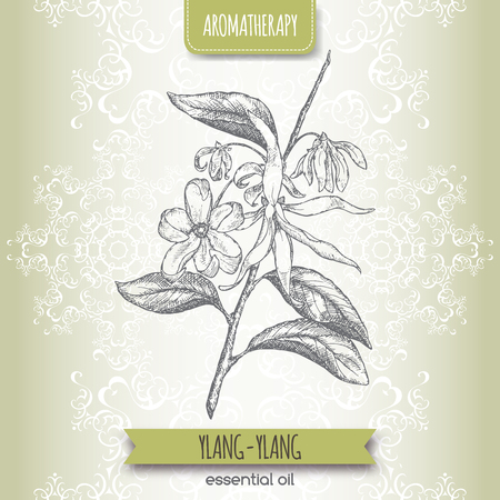 aromatherapy oil: Cananga odorata aka ylang-ylang sketch on elegant lace background. Aromatherapy series. Great for traditional medicine, perfume design or gardening. Illustration