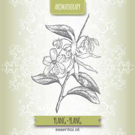 aromatherapy: Cananga odorata aka ylang-ylang sketch on elegant lace background. Aromatherapy series. Great for traditional medicine, perfume design or gardening. Illustration