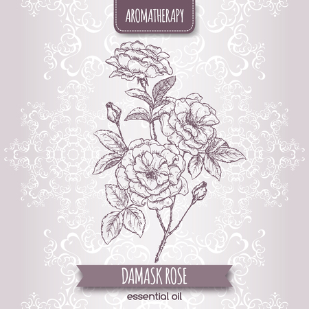 ローザ ダマシン別名ダマスク ローズがエレガントなレースの背景にスケッチします。アロマセラピー シリーズ。伝統的な医学、香水デザイン、料