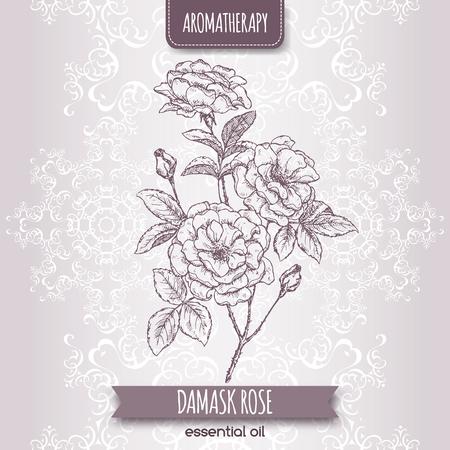 Rosa damascene aka Damask rose sketch on elegant lace background. Aromatherapy series. Great for traditional medicine, perfume design, cooking or gardening. Illustration